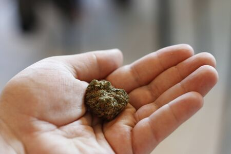 marijuana buds in hand. This is a large bud. Фото со стока