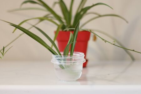 Chlorophytum in white flowerpot on wooden background . Ornamental plants in pot Variegatum,comosum. Spider Plant. Closeup.