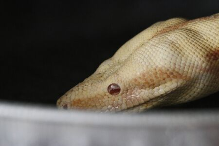 Close-up of Albinos Boa constrictor, Boa constrictor, 2 months old, in front of white background.