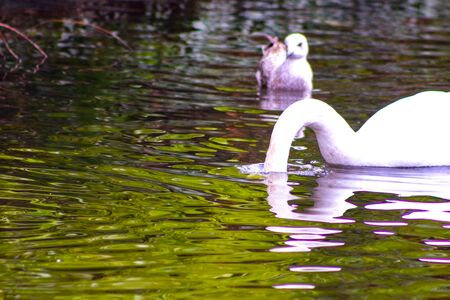 Pair of mute swans, preening their plumage on a pond