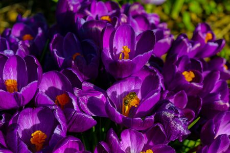 lot of purple crocus flowers in spring beautiful option as a background photo Standard-Bild