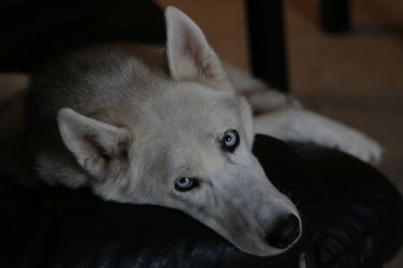Siberian husky dog isolated on gray. Portrait confused funny sled-dog with blue eyes and with pressed ears. Siberian husky dog isolated on gray. Portrait.