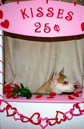 Valentines day husky puppy with a big red heart and a single red rose on a black background. Stockfoto