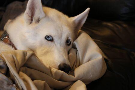 Husky Malamute Puppy Lying, Panting, Isolated On White.