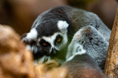 Ring-tailed lemurs (Lemur catta) huddle together on a cold autumn morning to stay warm.