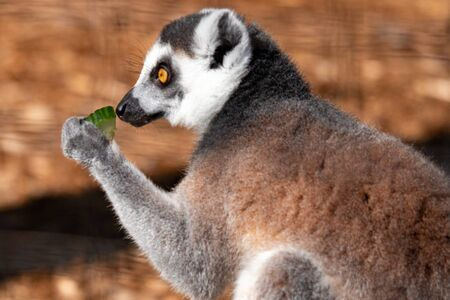 Portrait of a ring tail lemur. In wildlife