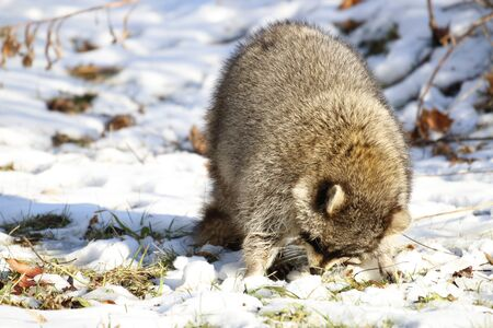Rabid Raccoon foaming at the mouth. While this particular raccoon may not be rabid, a wet sick raccoon foaming at the mouth is a sign of rabies. Rabies is deadly