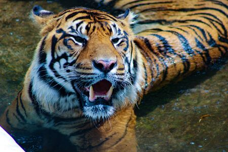 Amur tiger lying and looking forward. Stock Photo