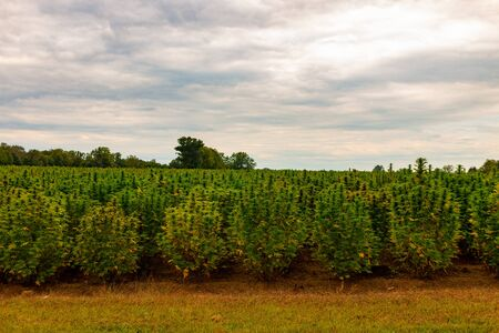 Hemp Field. Colorful SunsetSky and Landscape with Grass - Marijuana Plants..