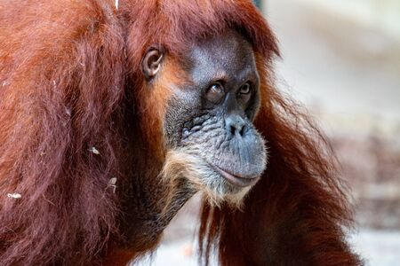 orangutans are an endangered primate species that is native to Sumatra and Borneo