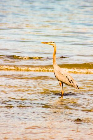 Great Blue Heron On A Gulf Coast Beach With Waves.