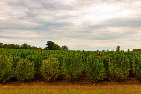 Hemp field in Canada. This is industrial hemp. 写真素材