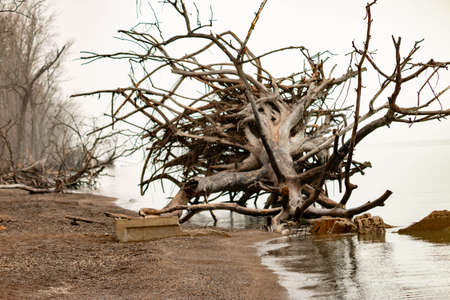 Large trees that have fallen over on point pelee beach