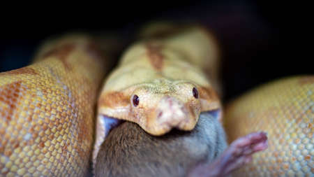 Albino Boa constrictor on a piece of wood, on a black background Stockfoto