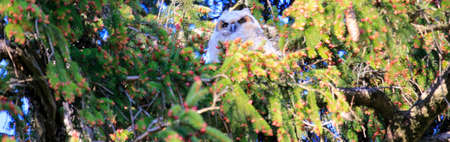 Great Horned Owl Mom and Owlets
