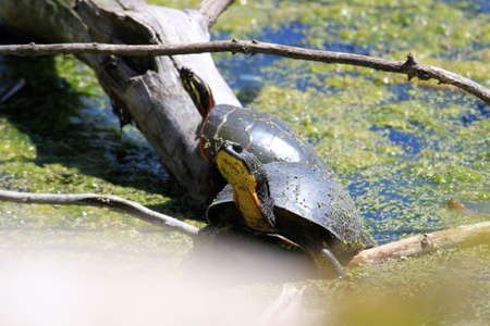 Blandings Turtle - Emydoidea blandingii, this endangered species turtle is enjoying the warmth of the sun atop a fallen tree. The surrounding water reflects the turtle, tree, and summer foliage.