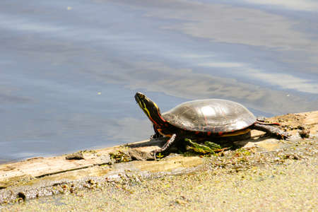 Midland Painted Turtles with Reflection Stockfoto