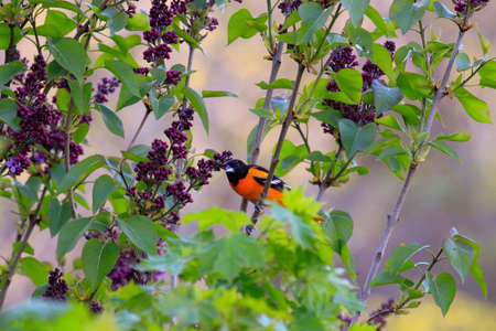 A baltimore oriole in a lilac tree. Photographed in Ontario canada