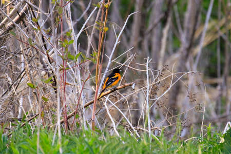 The unmistakably stunning Male Baltimore Oriole.