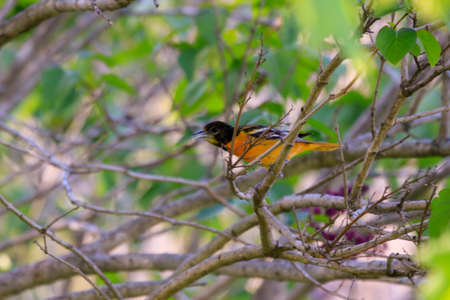 Male Baltimore Oriole perched in a tree as the green leaves in spring start to emerge.
