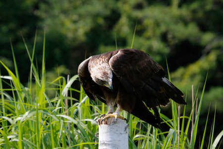 Golden eagle Aquila chrysaetos in flight with vegetation in the background. High quality photo Stockfoto
