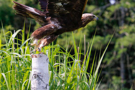 Golden eagle Aquila chrysaetos in flight with vegetation in the background