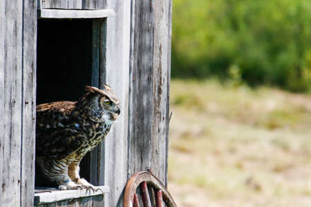 Excellent photos of a Great Horned Owl or Bubo virginianus. Beautiful background for post cards or websites with room for copyspace