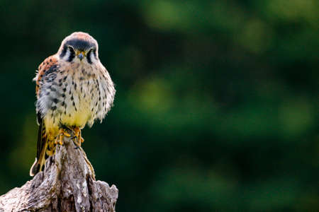 Static photo of American Kestrel, latin name Falco sparverius. This is the smallest falcon in North America.