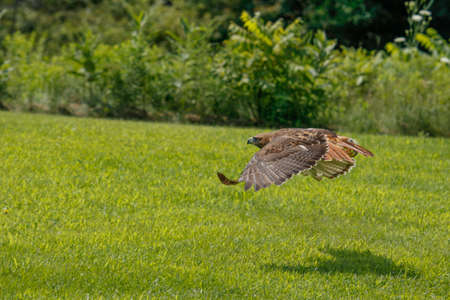 Action photos of a Red Tailed Hawk, latin name is Buteo jamaicensis. This is a common hawk in North America. Stockfoto