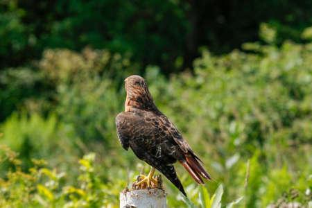 Harriss hawk, bay-winged hawk, dusky hawk or peuco Parabuteo unicinctus