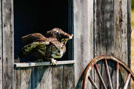 Closeup of a Great Horned Owl in flight. Stockfoto
