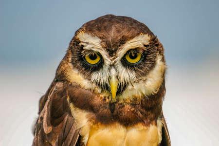 spectacled owl Pulsatrix perspicillata isolate on white background. Stockfoto