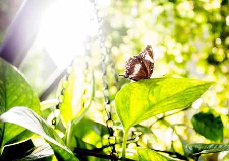 green butterfly: Brown butterly in a leaves in a morning sun