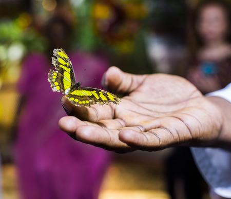 domestication: Butterfly in hands of a man in Dubai butterfly garden
