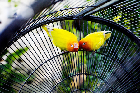 lovebirds: Yellow lovebirds in a cage