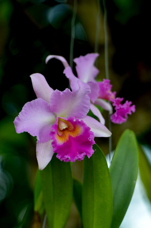 cattleya: Orchid Cattleya