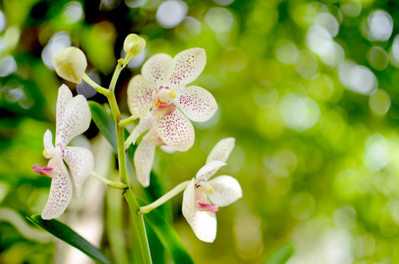 white: White Orchid