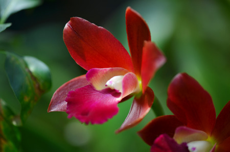 merah: Red Orchid Stock Photo