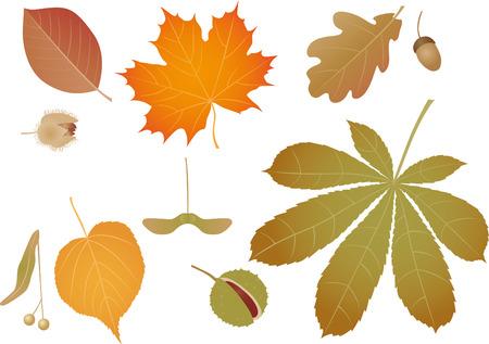 chestnut tree: Color leaves
