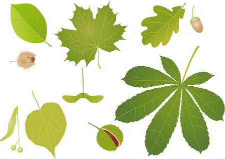 chestnut tree: Green leaves Illustration