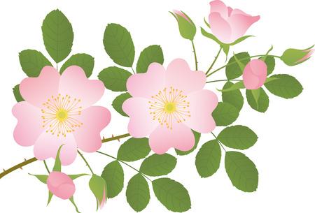 wild  rose: Rosa selvaggia