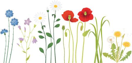campanula: Meadow flowers Illustration