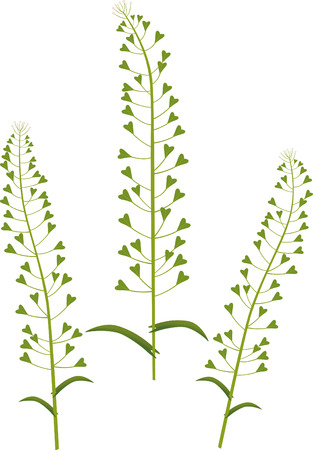 shepherds: Shepherds purse