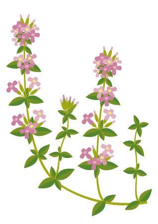 thymus Illustration