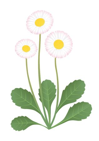 Vector illustration of daisy flower. Bellis perennis