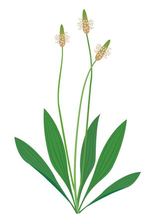 Vector illustration of Plantago Lanceolata
