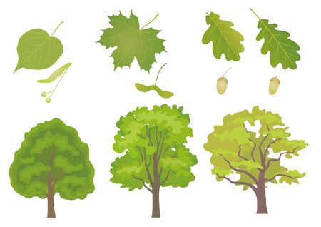 Vector set of common European forest trees with detail of leaf and fruit. Tilia cordata, acer platanoides, quercus robus, quercus petraea.