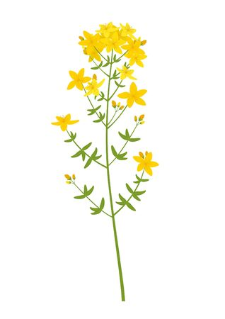 Vector illustration of a medicinal herb. St. John's wort (Hypericum perforatum) Vectores