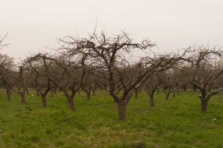 nacked: Wide shot of nacked orchard trees