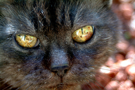 domestics: The black old cat rests in the garden and idly looks at you through its great yellow feline eyes
